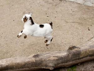 Munich Zoo Baby Goat