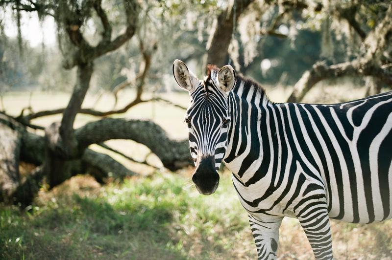 Giraffe Ranch In Florida Dade City Hidden Travel Treasures Com