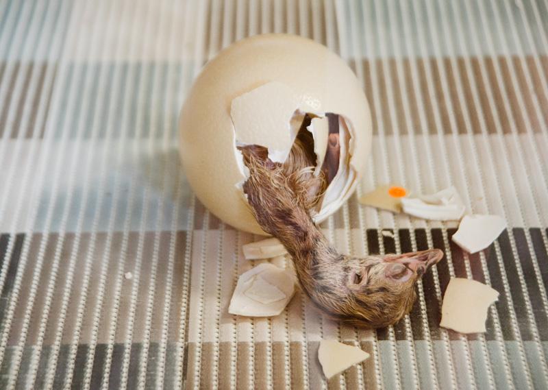 Ostrich hatching