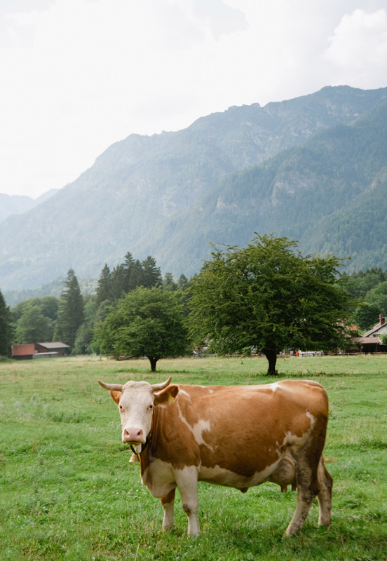 Hoellentalklamm Cow